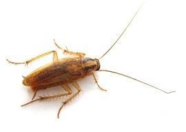cucaracha plagas control de plagas, anticucarachas