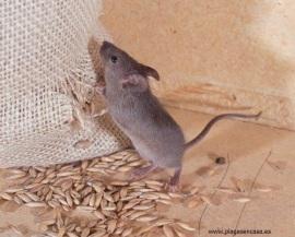 qu tengo en casa una rata o un rat n plagas en casa