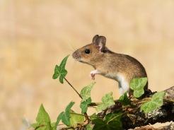 raton-campo-silvaticus
